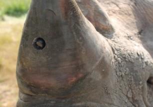 Ponen cámaras en los cuernos de los rinocerontes para protegerlos