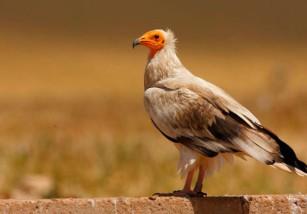 Las especies más emblemáticas de España son también las más amenazadas