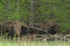 El bisonte vuelve a Extremadura