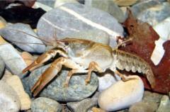 El cangrejo de río español fue importado desde Italia