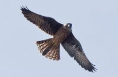 El halcón de Eleonora y su particular despensa veraniega