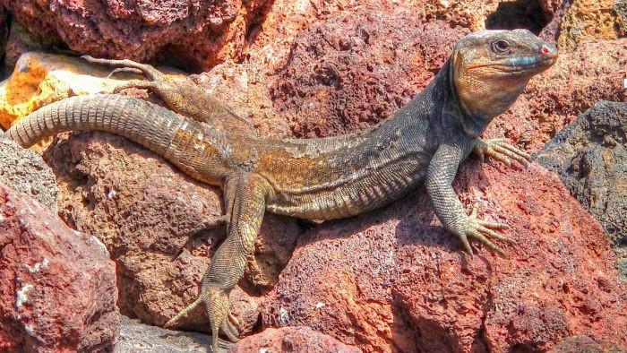 lagarto-gigante-de-palma