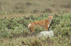 La extraña colaboración entre el lobo etíope y el gelada