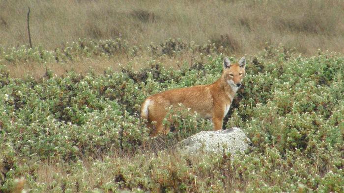 lobo-etiope