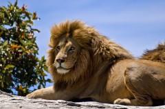 Algunas curiosidades sobre los leones