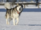 Alaskan Malamute, una raza muy especial