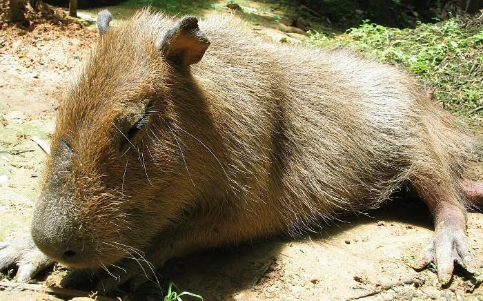 Animal durmiendo