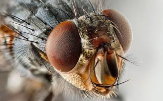 La suelta de moscas transgénicas en Tarragona no se llevará a cabo