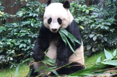 El panda más longevo en cautividad cumple 37 años