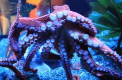 Así se aparean los pulpos del Pacífico: con miradas y abrazos