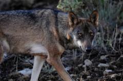 El lobo ibérico al sur de España ya es casi más perro que lobo