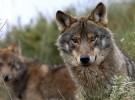 Ecologistas en Acción: el lobo y la ganadería deben convivir