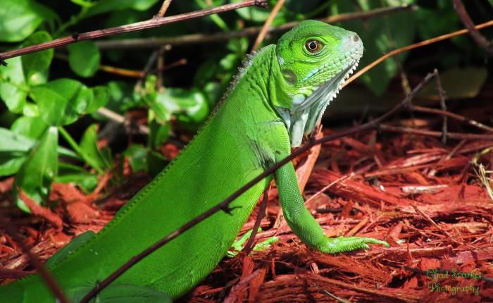 Consejos para cuidar a tu iguana