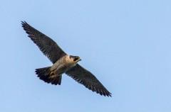 Un halcón peregrino abatido a tiros en la Comunidad de Madrid