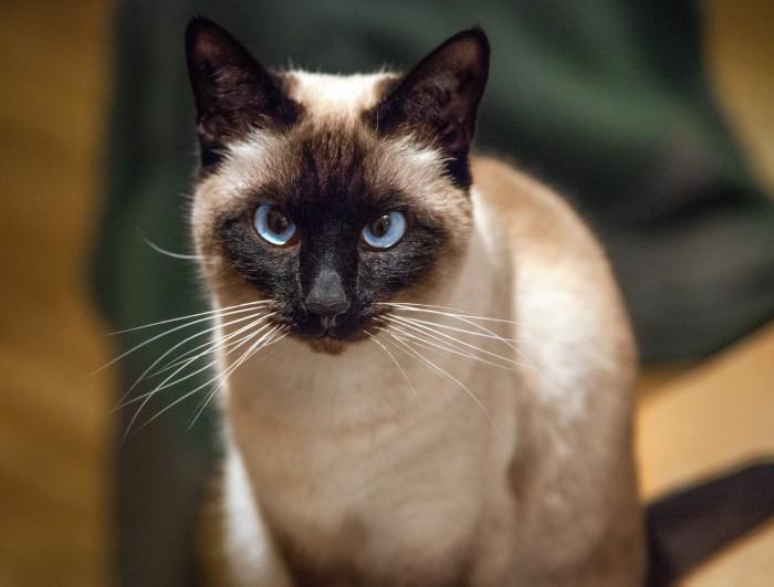 Siamés, la raza de gatos más popular