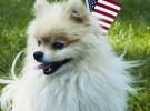 El Pomerania, una pequeña raza canina alegre y enérgica
