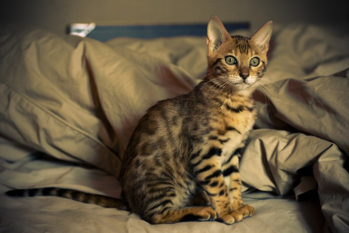Bengala, una peculiar raza de gatos leopardos