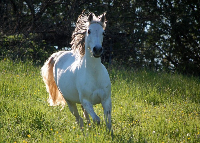 Árabe, una de las razas de caballo más antiguas