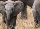 Así luchan los elefantes contra el cáncer