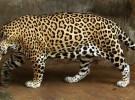 """Salman, un jaguar es devuelto al zoo porque """"está gordo y no puede aparearse"""""""