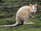 El marsupial australiano, en peligro por la luz artificial