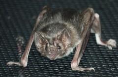 Este era el color de los murciélagos… Extintos hace 50 millones de años