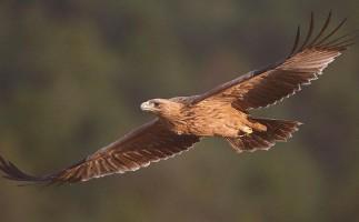 Villaviciosa de Odón acoge un festival sobre el águila imperial
