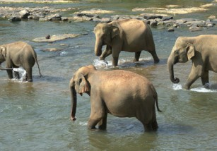 En Indonesia, algunos elefantes se han convertido en bomberos