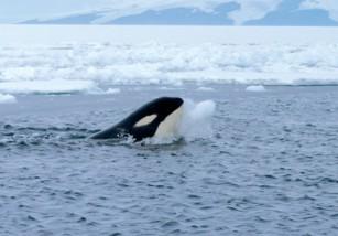 Tras denuncias por maltrato animal, SeaWorld cancela sus espectáculos con orcas