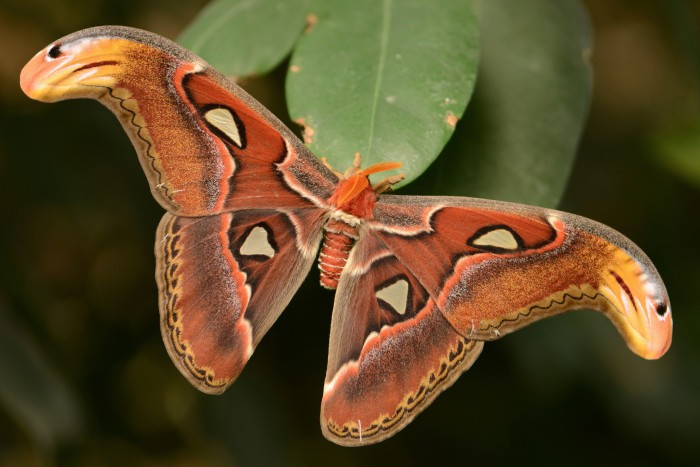 La mariposa atlas, la más grande del mundo