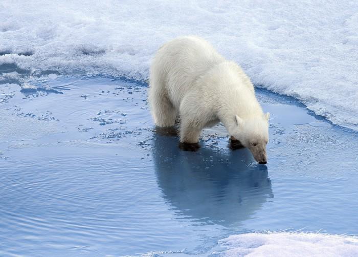 Algunas curiosidades sobre los osos polares