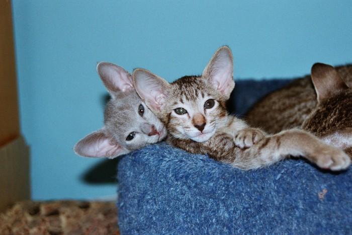 El gato oriental, una de las razas más elegantes