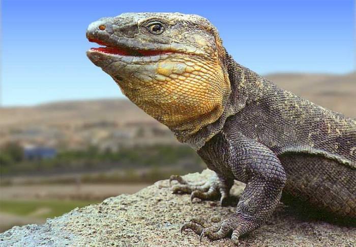 El lagarto gigante de la Gomera podría alejarse de la extinción