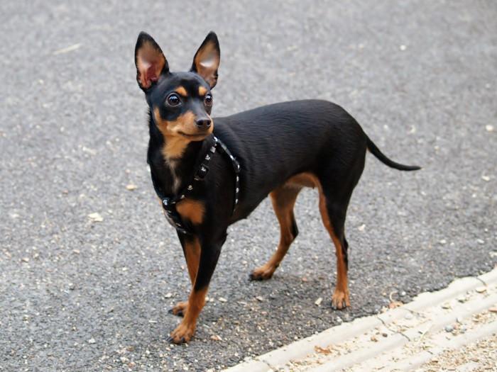 El ratón de Praga, el perro más pequeño del mundo