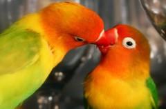 Agapornis, las aves que siguen a sus parejas a toda costa