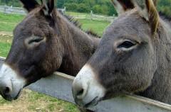 Burros protegidos: Gasteiz prohíbe las festividades con estos animales