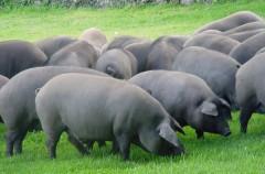 En Estados Unidos han logrado crear híbridos de humanos y animales