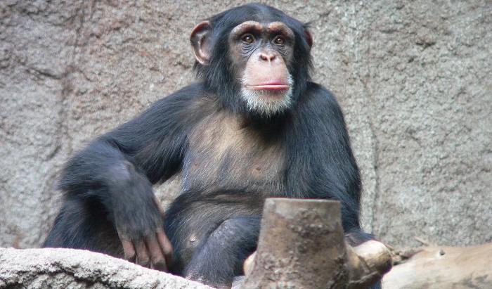 Chimpancés, basando sus relaciones en la confianza
