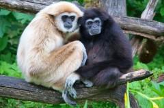 Gibones, así son los monos acrobáticos
