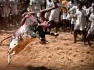 Jallikattu, la corrida de toros en la que el animal no muere