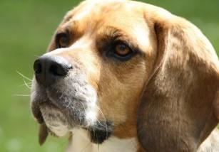 Sí, la miel es beneficiosa para vuestros perros