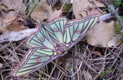 La Actias isabellae elegida como Mariposa del Año 2016