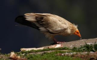 Un plan de la Junta de Andalucía reduce los cebos envenenados en un 60%
