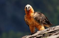 Quebrantahuesos en Cazorla, la recuperación de la especie un poco más cerca