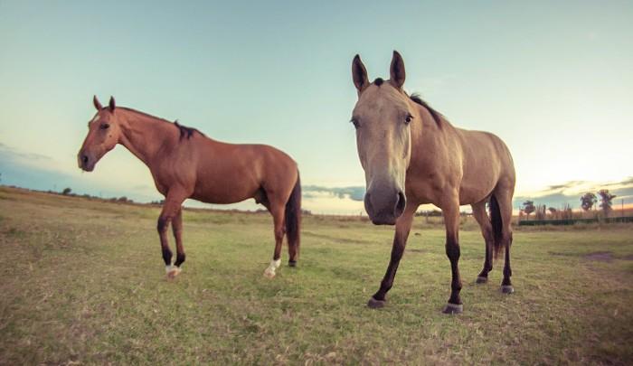 Un estudio demuestra que los caballos son más sentimentales de lo que parece
