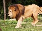 Leones, casi en peligro de extinción