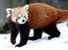 Panda rojo, un animal muy particular y bonito
