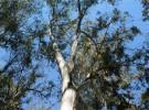 Eucalipto, la plaga arbórea que no acaba