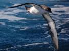 Pardela balerar: cuenta atrás de 60 años para la extinción