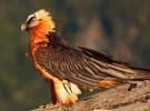 Quebrantahuesos: récord de cría en cautividad en Cazorla